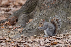 Grey squirrel eating nut Stock Photography
