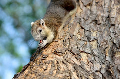The grey squirrel eating nut Stock Photography