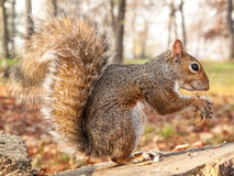 Grey squirrel eating nut Stock Photos