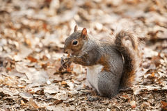 Grey squirrel eating nut Royalty Free Stock Photography