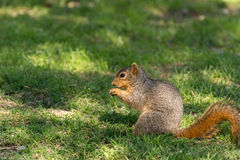 Grey squirrel eating nuts Royalty Free Stock Image