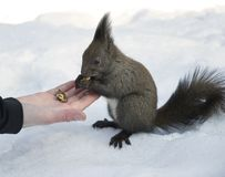 Grey squirrel eating nuts from hand Royalty Free Stock Image