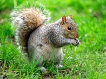 Grey squirrel eating park portrait. Grey squirrel eating in the park portrait Royalty Free Stock Photo
