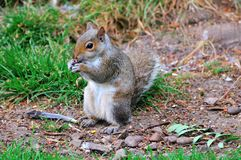 Grey Squirrel eating a peanut. Stock Images
