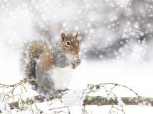 Grey Squirrel Eating Peanut in Snowstorm stock images