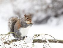 Grey Squirrel Eating Peanut on Snowy branch stock photo
