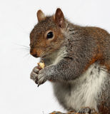 Grey Squirrel eating peanuts Stock Photos