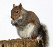 Grey Squirrel eating peanuts Royalty Free Stock Photography
