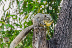 Grey Squirrel eating piece of fruit on the tree Stock Image
