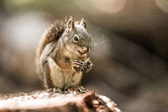 Grey Squirrel Eating Pine Cone Arkivfoton