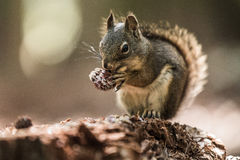 Grey Squirrel Eating a Pine Cone. In the forest during the summer stock photo