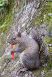Grey Squirrel is eating Stock Photo