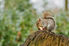 Grey squirrel eating a red apple with bushy tail Royalty Free Stock Images