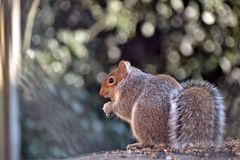 Grey squirrel eating seeds in an English garden royalty free stock photo