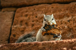 Grey squirrel eating toast Royalty Free Stock Images