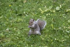 Grey squirrel eating in a yard stock photo