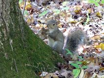 Grey Squirrel eats a mushroom royalty free stock photography