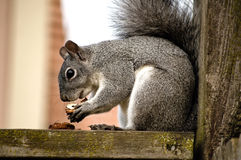 Grey Squirrel Eats a nut Stock Photography