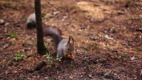 Grey squirrel eats stock footage