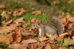 Grey Squirrel ekorre, Sciuruscarolinensis arkivbild