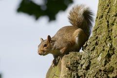 Grey Squirrel ekorre, Sciuruscarolinensis arkivfoton
