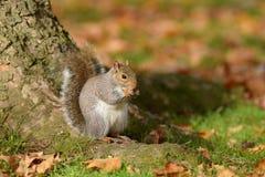 Grey Squirrel ekorre, Sciuruscarolinensis arkivbilder