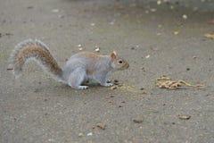 Grey Squirrel en la derecha que hace frente de tierra fotografía de archivo libre de regalías