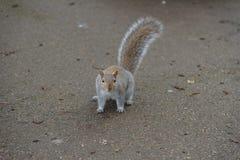 Grey Squirrel en la tierra que mira la cámara imágenes de archivo libres de regalías