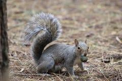 Grey Squirrel en piso del bosque con la nuez de pino en boca Imagen de archivo