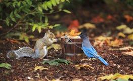 Grey Squirrel en Steller ` s Jay Sharing stock foto