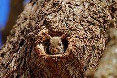 Grey Squirrel en un agujero Fotos de archivo libres de regalías
