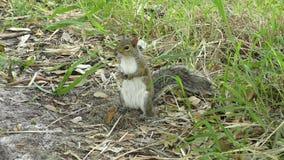Grey Squirrel en un prado almacen de video