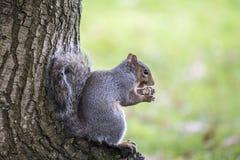 Grey Squirrel et x28 ; Carolinensis& x29 de Sciurus ; photographie stock