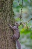 Grey Squirrel et x28 ; Carolinensis& x29 de Sciurus ; s'élever et chêne et x28 ; Quercus& x29 ; Photographie stock