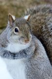 GREY SQUIRREL. Face close up Stock Photos