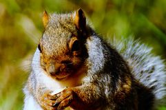 GREY SQUIRREL. Face close up Royalty Free Stock Photography