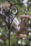 Grey Squirrel at Feeder Royalty Free Stock Photos