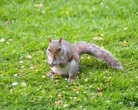 Grey Squirrel Feeding Stock Image