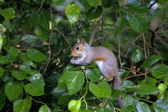 Grey squirrel feeding on berries Royalty Free Stock Photos