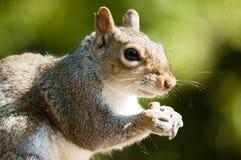 Grey squirrel feeding Royalty Free Stock Photography