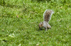 Grey Squirrel. Stock Photography