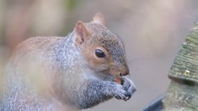 Grey Squirrel feeding on peanuts in urban house garden. stock footage