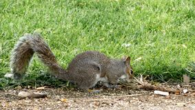Squirrel forages for food royalty free stock image