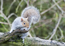Grey Squirrel Foraging. A Grey Squirrel foraging for food royalty free stock photos