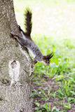 Grey squirrel in forest Royalty Free Stock Photos