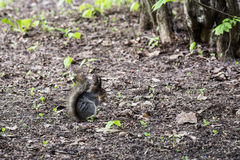 Grey squirrel in forest Royalty Free Stock Image