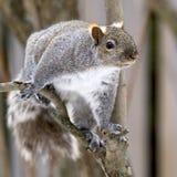 Grey Squirrel in full winter coat Stock Images