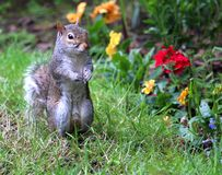Grey squirrel in garden standing upright. Taken at east renfrewshire scotland Uk Royalty Free Stock Image