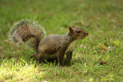 Grey Squirrel on grass. A wild gray squirrel on grass looking at the camera Stock Images