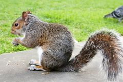 Grey Squirrel on grass with one nut in hands-3 stock photos